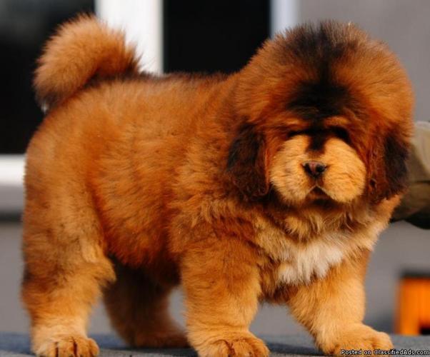 pure breed tibetan mastiff puppies