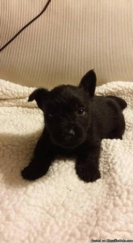 Purebred CKC Scottish Terrier Puppies For Sale