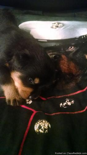 purebred German Rottweiler puppies