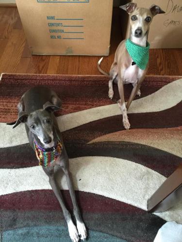 Purebred Italian Greyhounds