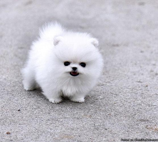 Purebred Pomeranian Puppies For Sale In San Antonio Texas