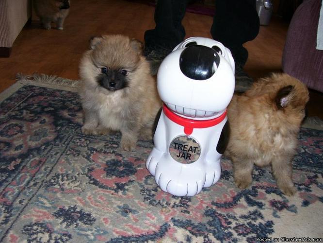 purebred Pomeranina puppies - Price: $350.00