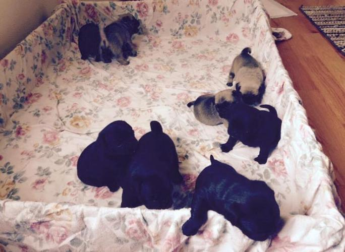 purebred pug puppies