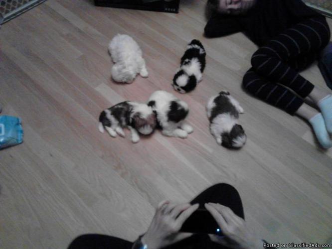Purebred Shih Tzu Pups Price 35000 In White Lake Michigan