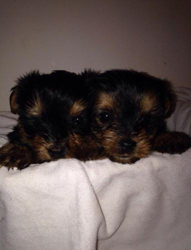 Quality yorkie puppies in Pittsburgh, Pennsylvania