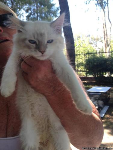 Ragdoll Kitten/Gorgeous  Primo in Rancho California