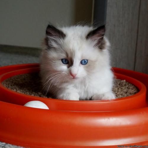 Ragdoll Kittens in Nickelsville, Virginia | CannonAds com