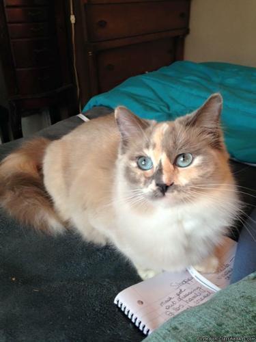 Ragdoll kittens in Braidwood, Illinois | CannonAds com