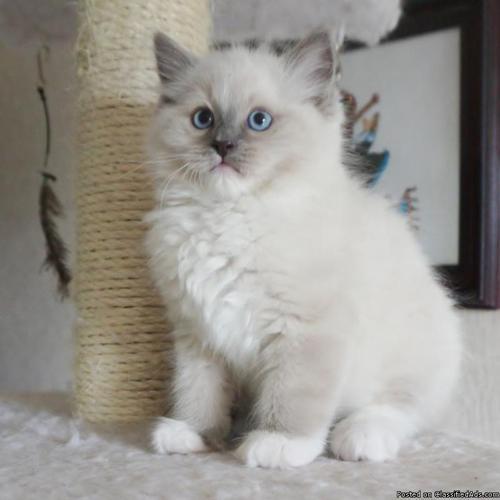 Ragdoll kittens, Reg  in Nickelsville, Virginia | CannonAds com