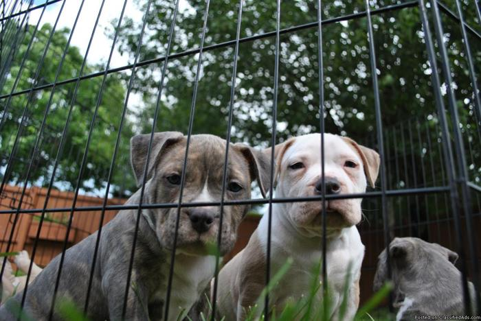 Razors Edge Pit Bulls Blue Brindle And Fawn Puppies