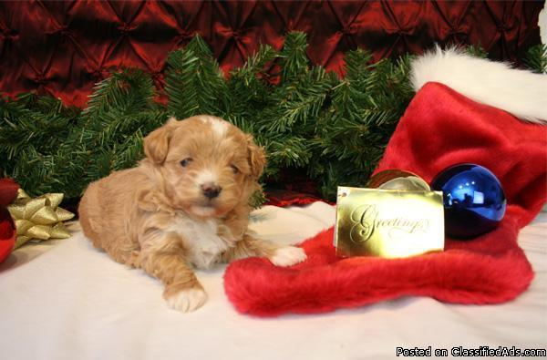 Red maltipoo male puppy for sale - Price: 2200 in River