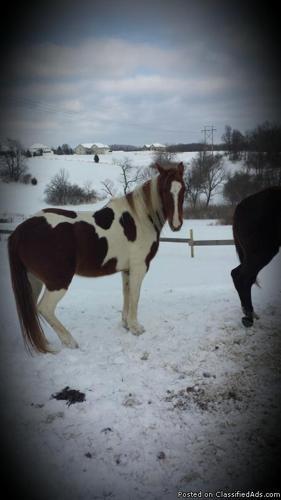 Registered MFT mare for sale