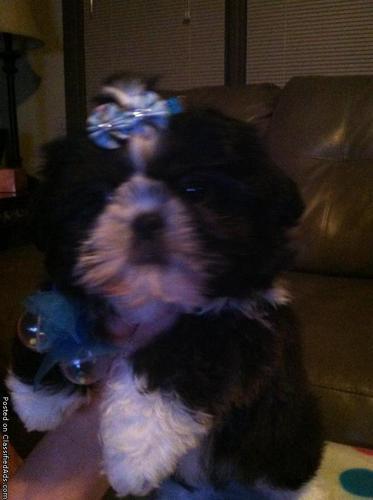 Registered Shih-tzu puppy