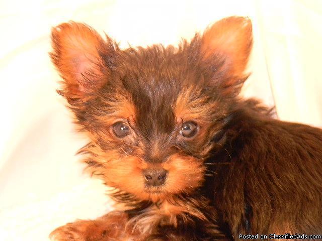 Yorkie Puppies Prices | Dog Breeds - 141.9KB