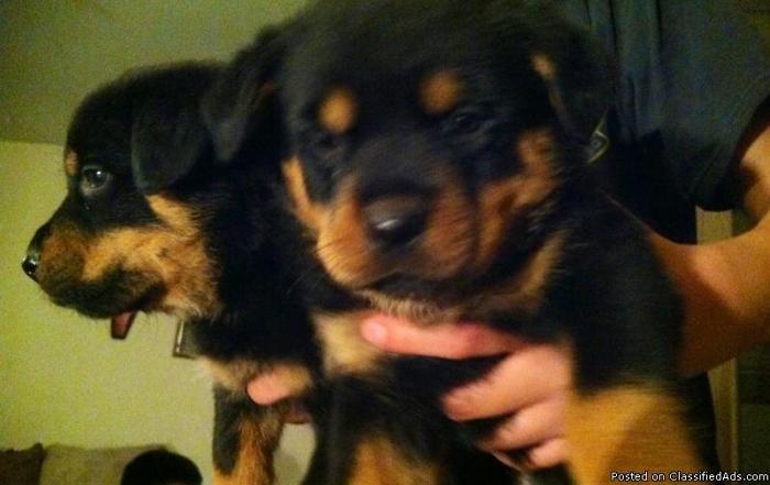 Rottweiler puppies full breed