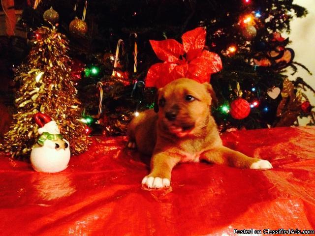 rottweiler/staffordshire terrier mix