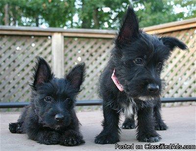 Scoland Terrier Pups For Sale Scottie Westie Hybrid Price