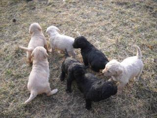Second Generation Goldendoodle Or Labradoodle Puppies Now 400 In