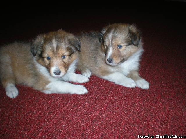 Sheltie Puppies Price 35000 New Price In Grand Rapids Michigan