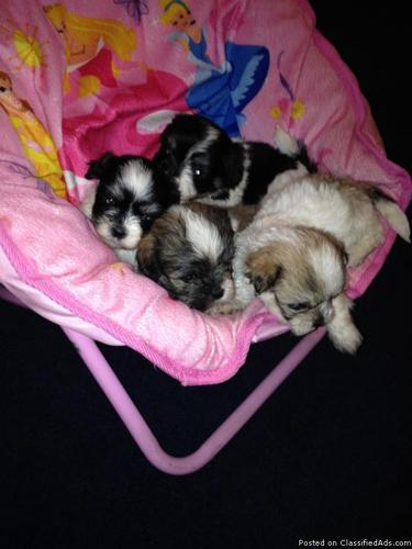 Shih-tzu/Maltese Mix Puppies in Indianapolis, Indiana