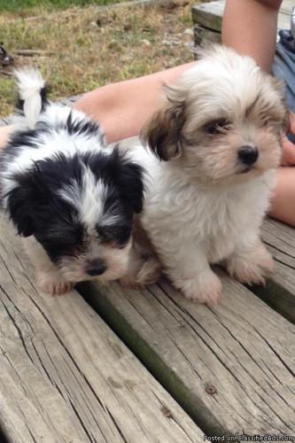 Maltese Puppies Lafayette Indiana