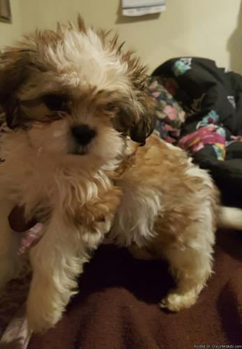 Shih TZU puppie for sale