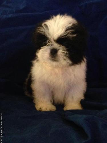 Shih Tzu Puppies For Sale In Lorain Ohio Cannonadscom