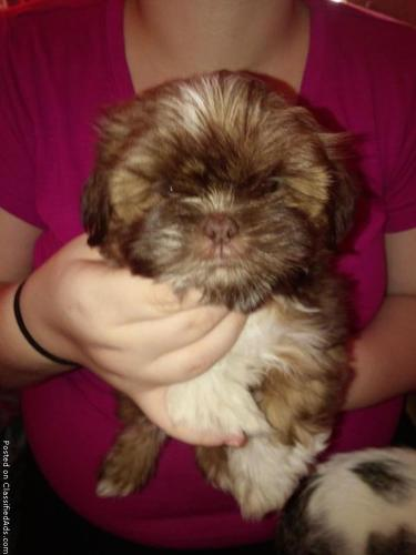 Shih Tzu Puppy In Springfield Missouri Cannonadscom
