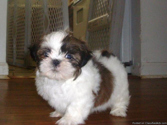 Shih Tzu pups - Price: 500 in New York, Iowa | CannonAds com