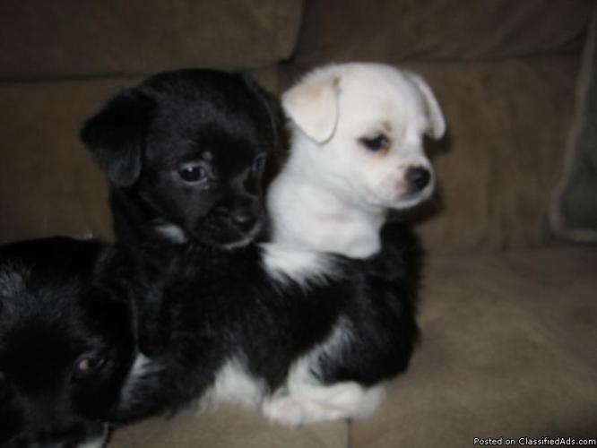 Chihuahua and Shih Tzu Poodle Mix