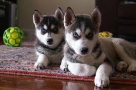 Show Quality Siberian Husky Pups