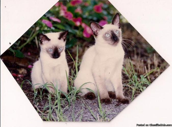 SIAMESE KITTENS - Price: $200-$400 in Ocklawaha, Florida