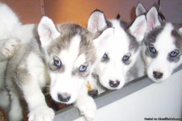 Siberian Husky - Price: $450.00-500.00