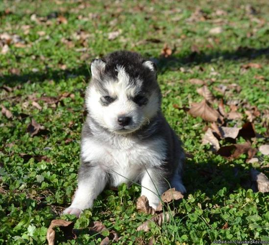 Siberian Husky Puppies Kennel Trained