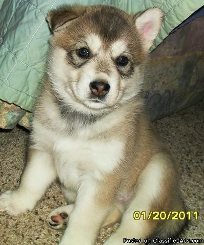 Siberian Husky Wolf Hybrid