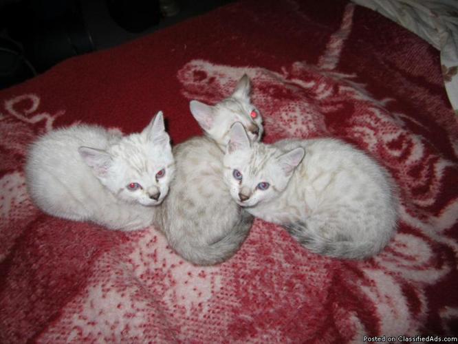SNOW LEOPARD BENGAL KITTENS - Price: 800