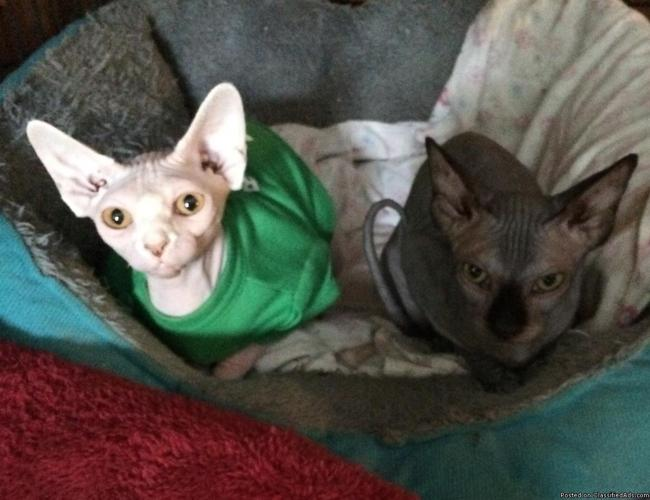 Sphynx Cat hairless kittens in Oroville, California