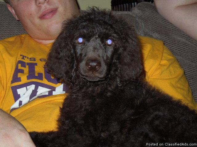 Standard Poodle Puppies in Baton Rouge, Louisiana