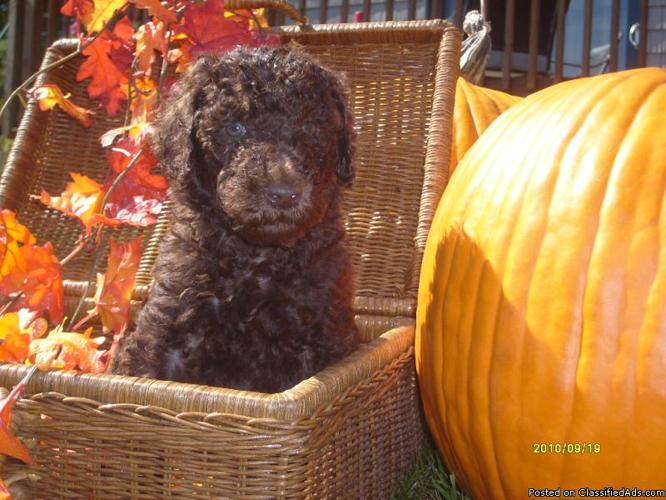 Standard Poodle Puppies Price 85000 In Hersey Maine