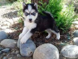 Stunning Siberian Husky puppies.male and female available..