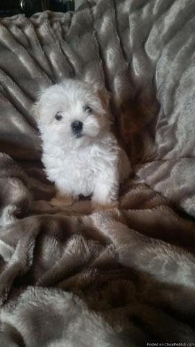 Stunning Tiny Maltese Puppy Ready Now in Raleigh, North
