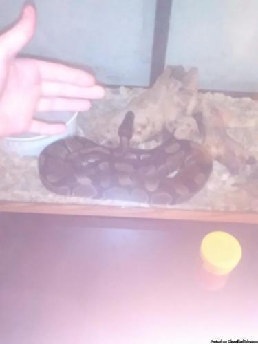 Sub adult ball python tame
