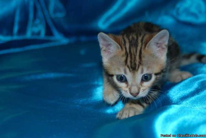 Sweet bengal kittens available  in Austin, Texas | CannonAds com