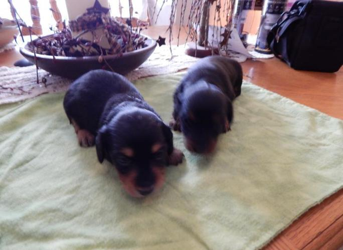 Sweet Longhaired dachshund puppies