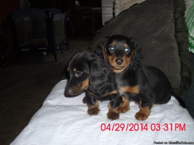 sweet longhaired minature Dachshunds
