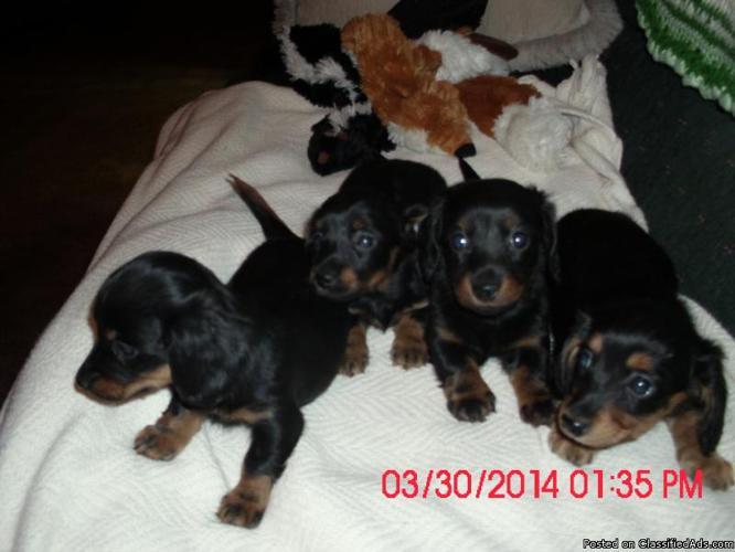 Sweet miniature longhair Dachshunds puppies