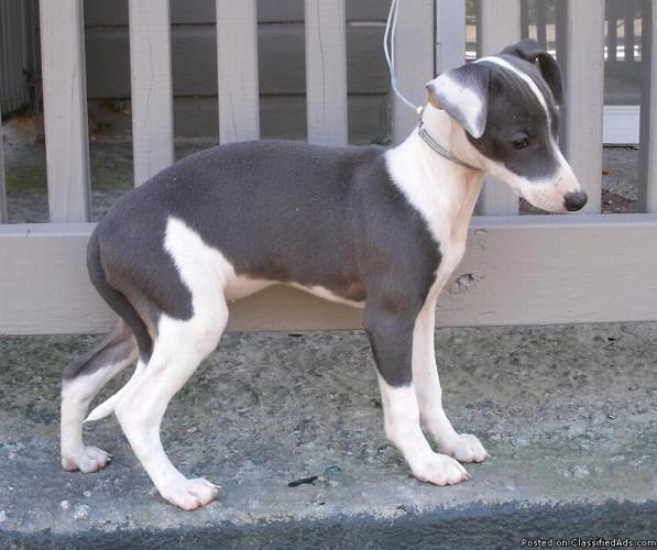 SWEET SWEET ITALIAN GREYHOUND PUPPIES - Price: 750
