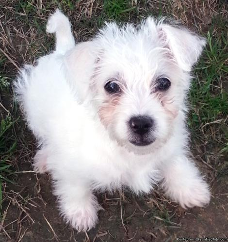 SWEET, WHITE PUPPY NEEDS FOREVER HOME (BAYTOWN)