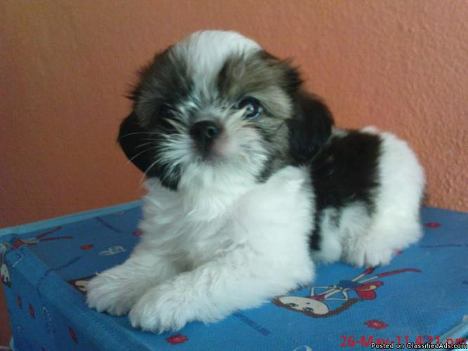 Sweetest~Luvable~Playful~Healthy~AKC Shih Tzu Puppies