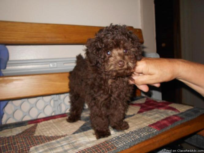 t cup choco poodle male